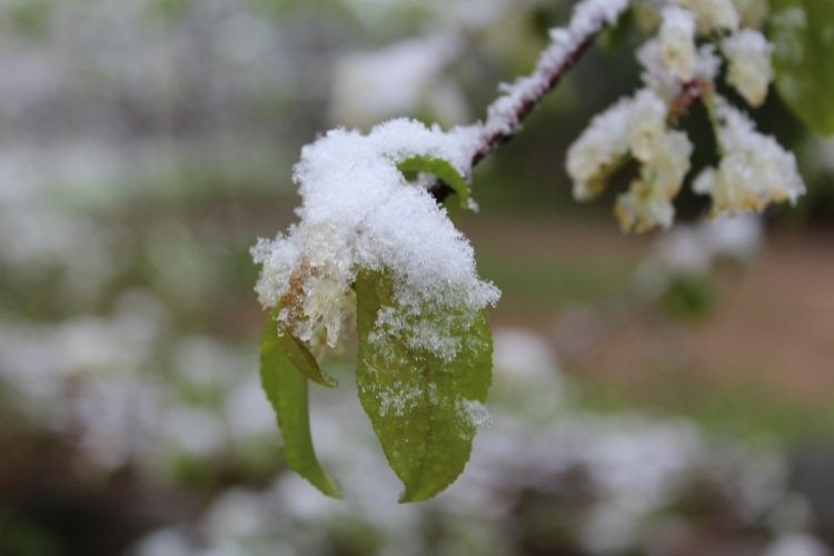 snow on a new green leaf at the end of a branch